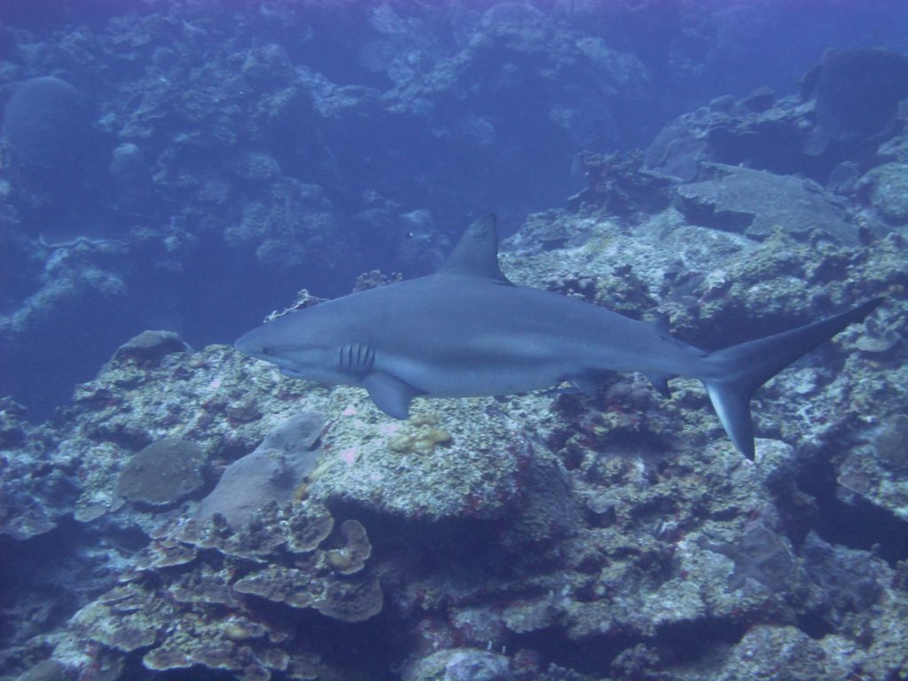 shark diving in cayman islands