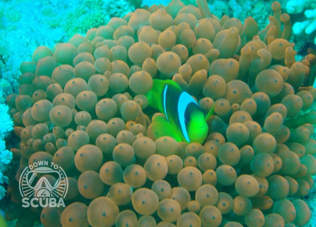 Diving with a anemone fish