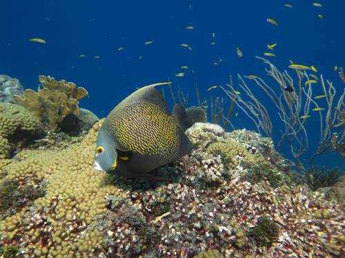 Diving with an angelfish in curacao