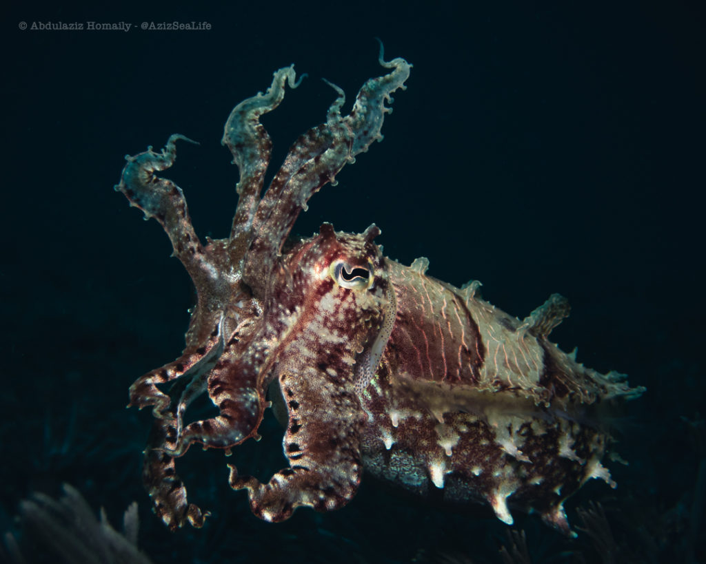 cuttlefish in lombok