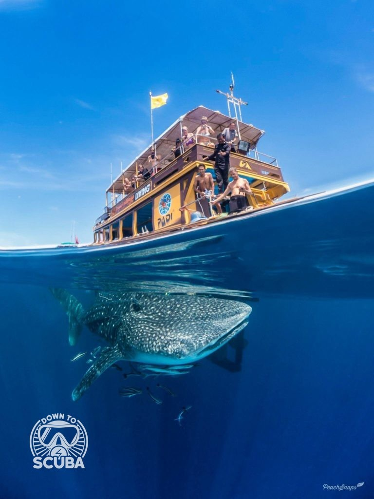 A split level photo of a whale shark under a dive boat.