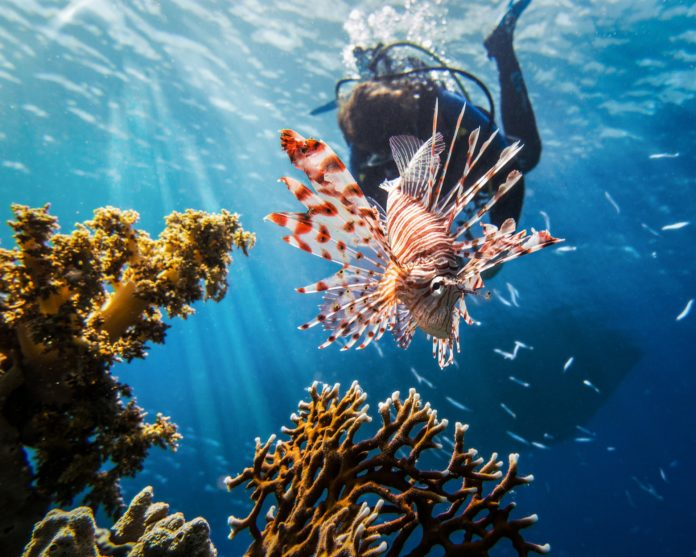 A red lionfish with a scuba diver. Who is the worst ocean invasive species?