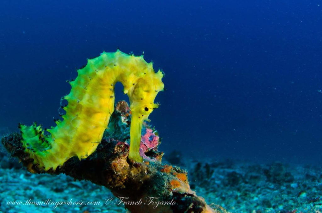 A yellow seahorse when diving in Myanmar