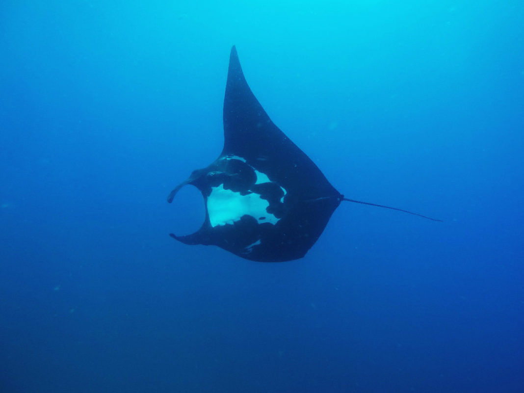 A Giant Manta Ray seen while diving Costa Rica