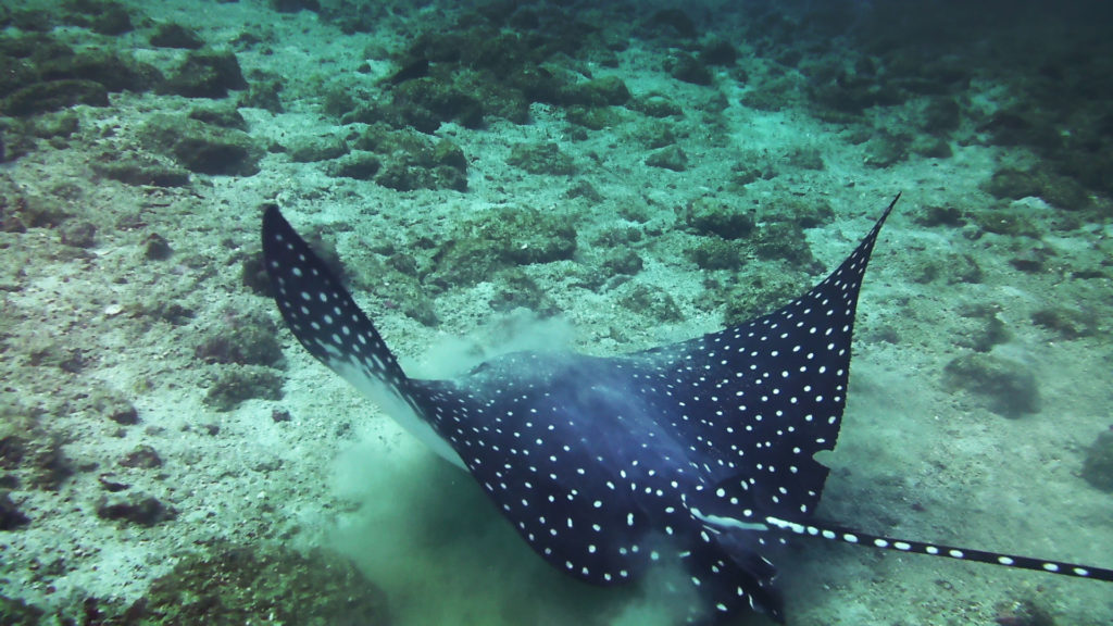 A beautiful eagle ray about to glide off in Costa Rica