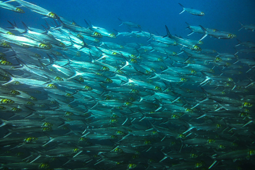 A school of fish can be seen while diving in the Catalina Islands.