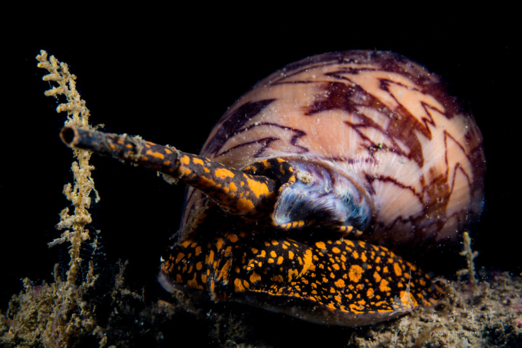 Noble Volute sea snail found in Singapore