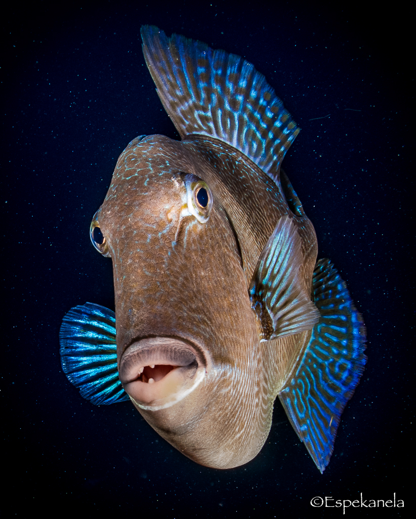 Encounters with triggerfish while diving in Tenerife.