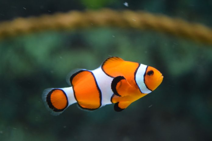Ultimate Guide to Clownfish, what are their habits?