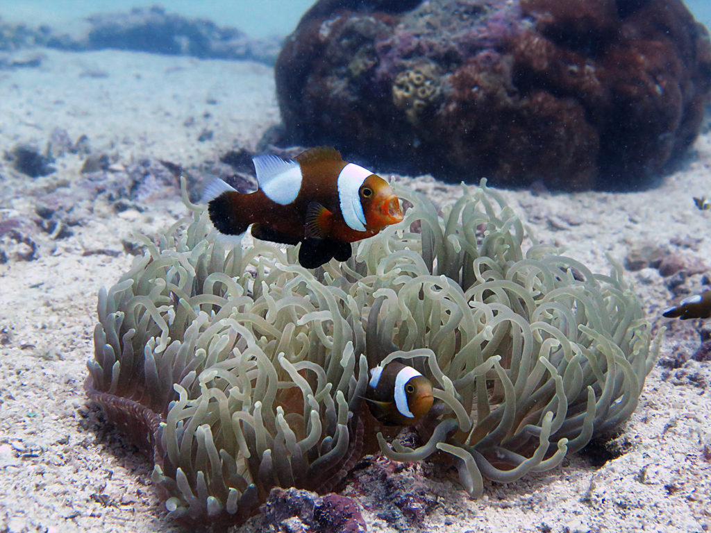 Anemone with their host family, clownfish