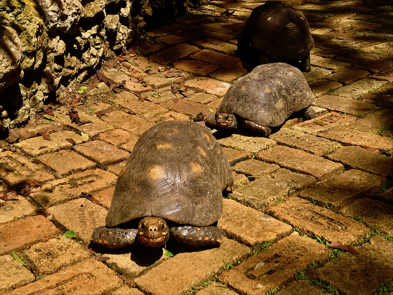 Red-footed Tortoises at the Barbados Wildlife Reserve