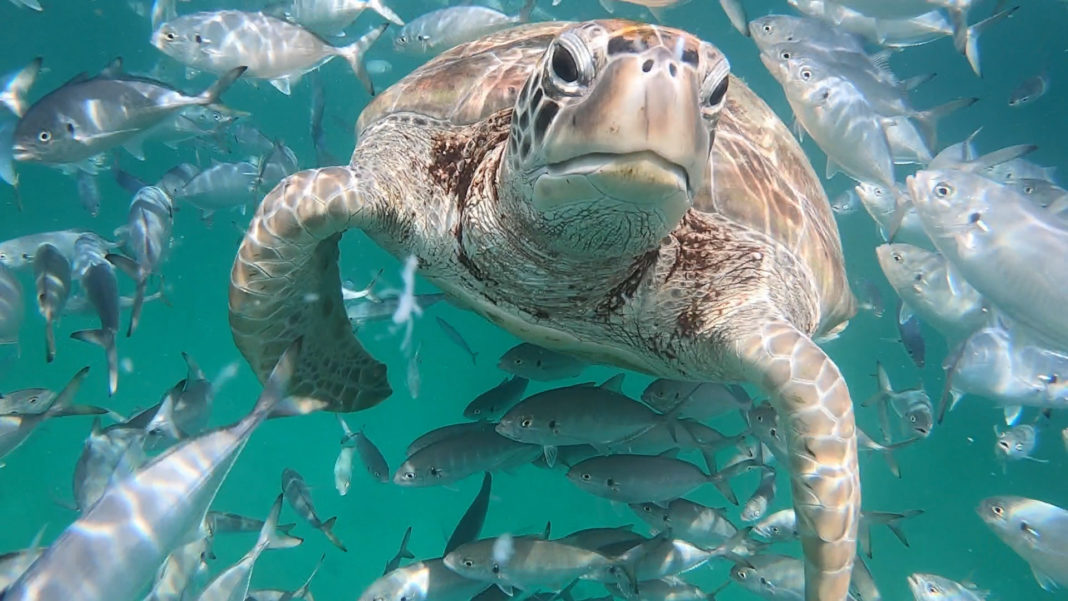Turtle close-up while scuba diving in Barbados