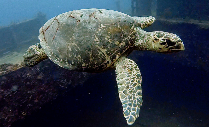 Sea turtles are in abundance here in Barbados.
