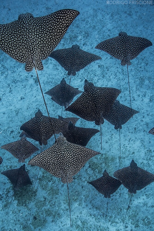 A school of spotted eagle rays