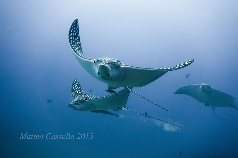 Spotted eagle rays have 'countershading' camouflage. White on their bellies, and patterned on the top.