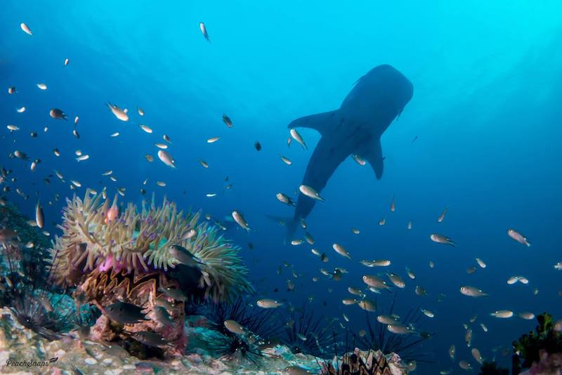 A whale shark swimming over coral.
