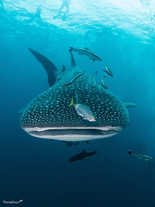 Front profile of a whale shark's mouth