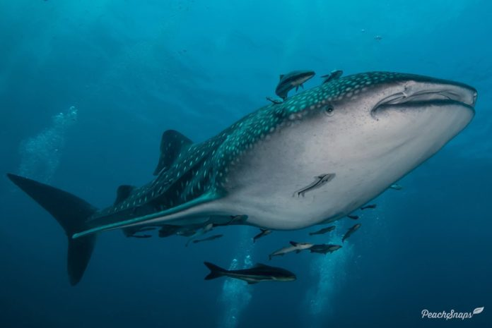 A whale shark swimming overhead. Learn more about whale shark facts here at downtoscuba.com. Image / Peach Snaps Photography