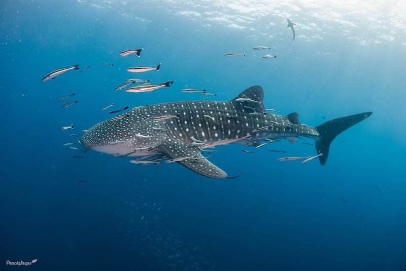 Wide shot of a whale shark in the ocean.