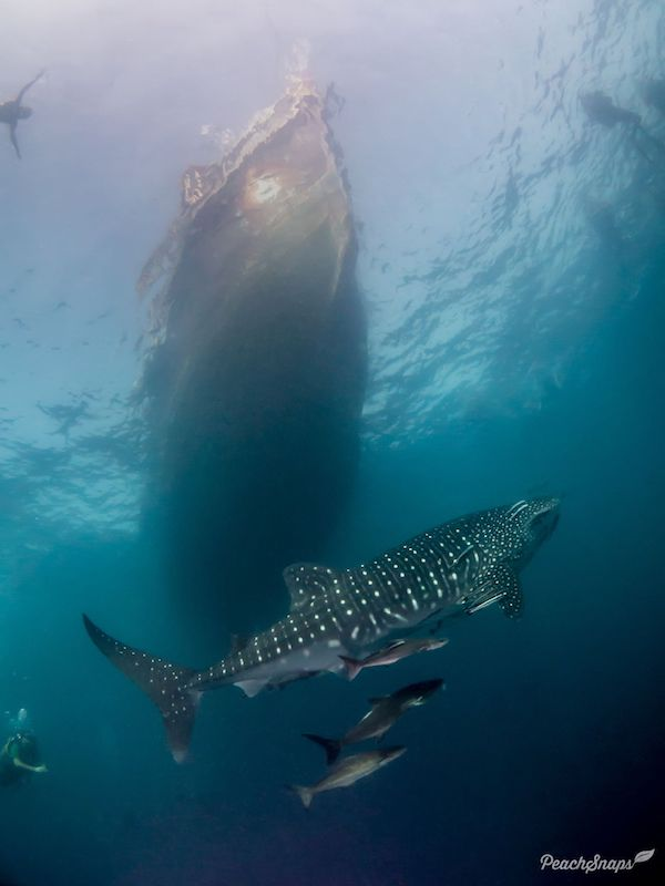 A whale shark swimming under a dive boat.