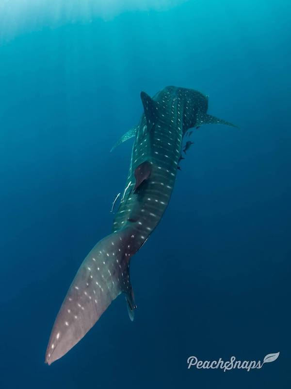 A whale shark swimming around.