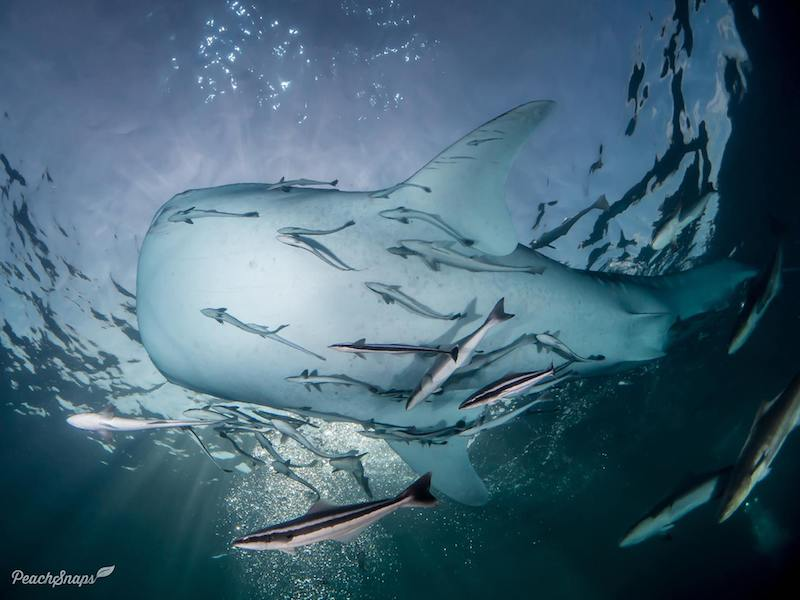 Underbelly of a whale shark swimming overhead.