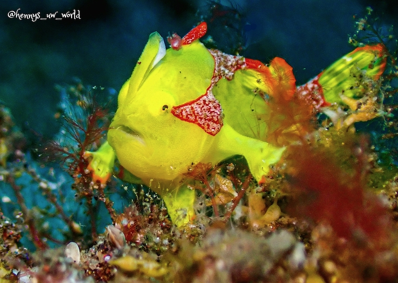 Frogfish mucking diving in Bali