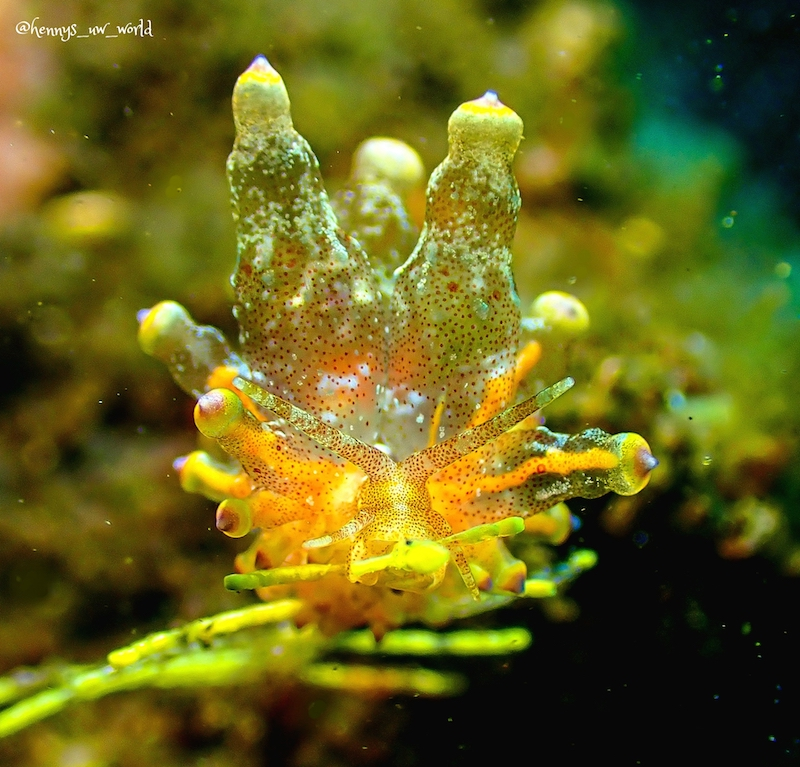 A nudibranch photographed by Henny Slamet